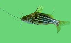Golden Zebra Catfish