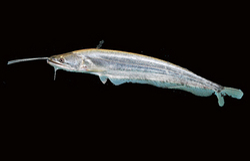Killer Cat Fish