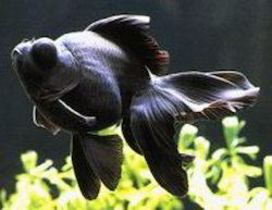 Black Moor Gold Fish, Size: Normal
