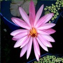 Night Blooming Pink Water Lily( Very Rare Pool plant )
