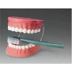 Giant Dental Care Model with Toothbrush ( BEP-001 )