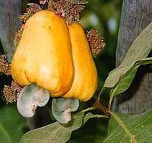 Ratnagiri Raw Cashew Suppliers