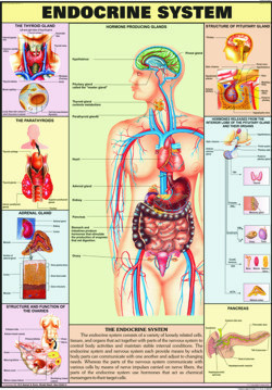 Endocrine system for human physiology chart at rs 120 piece model