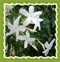 Jasmine, Jasmine Flower, Catalonian Jasmine