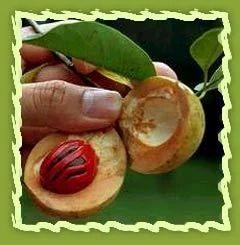 Nutmeg, Myristica Fragrans, Myristica Beddomei