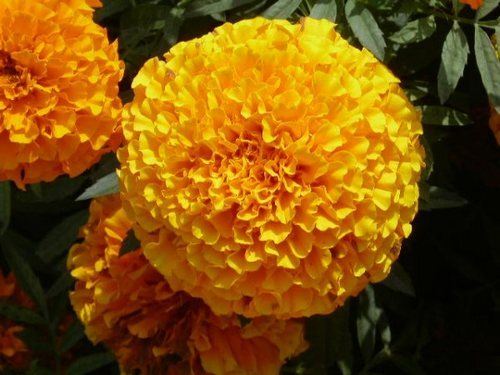 Imported Flower Seeds Giant Marigold Exporter From Howrah