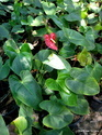 Red, White, Orange Anthurium Indoor Flowering Plant