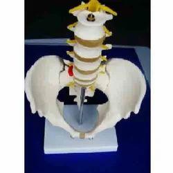 Pelvis With 5 Pcs Lumbar Vertebrae ( BEP-115 )