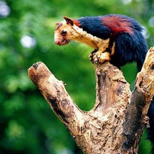 Königsriesenhörnchen