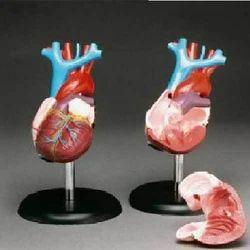 Heart Model ( BEP-002 )