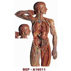 Lymphatic System ( BEP/A16011 )
