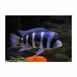Frontossa Fish