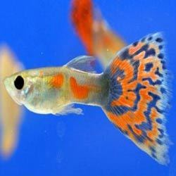 Guppy Fish - Wholesale Price & Mandi Rate for female Guppy