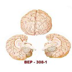 Human Brain Models ( BEP-308-1 )