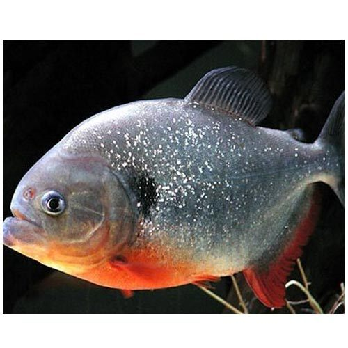 Piranha Fish Madhu Fish Paradise Wholesaler In Gopinath Marg