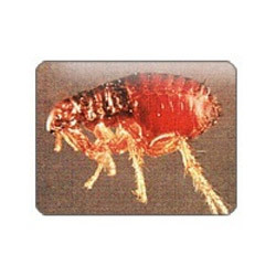 Fleas Picture