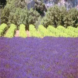 Lavender Oil Oregon