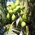Solid Green Coconuts