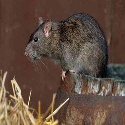 Rats Control Service