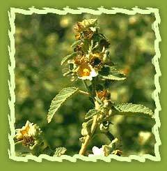 Madder, Indian Madder (Rubia Cordifolia)