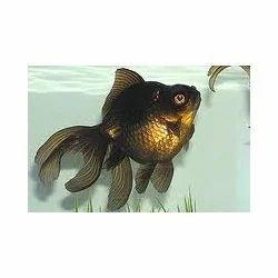 Black Moore Fish