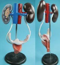 Urogenital System ( BEP-332 )