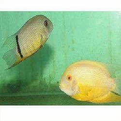 Severum Psittacus Fish Cichlid Fishes Kolathur Chennai Malas