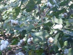 Saga Genetech Seeds
