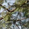 Acacia Arabicaa