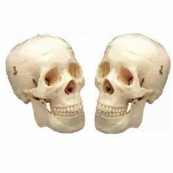 Life Size Skull Model ( BEP-104 )