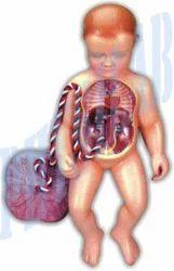 Physilab Natural Human Fetal Circulation for Laboratory