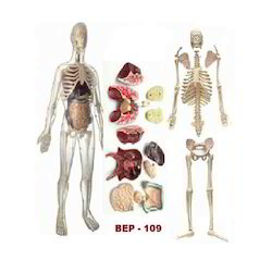 Transparent Human Skeleton with Organs Model ( BEP-109 )