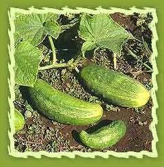 Cucumber & Cucumber Seeds