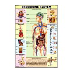 HP11S-Endocrine System