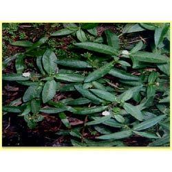 Maddi Bhringraj Leaf Dry Powder, Grade Standard: Medicine Grade, Packaging Type: Packet