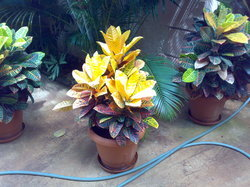 Color Full Ornamental Potted Plants
