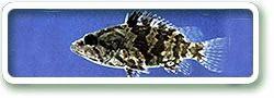 Leaf Fish 16cm