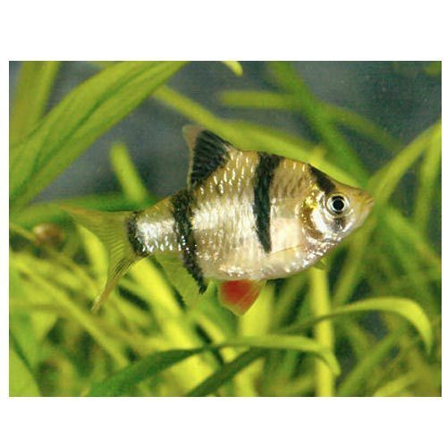 Sea Tiger Barb Fish