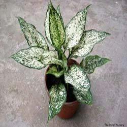 Aglaonema Snow White Indoor Plants