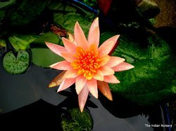 Orange Water Lily Aquatic plants