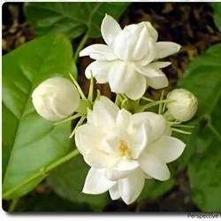 mogra flower at rs 300 kilogram gultekdi pune id 2484269762
