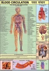 Blood Circulation For Human Physiology Chart