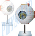 Natural Fiberglass Human Eye 5 Times Enlarged, Packaging Type: Box Packing, for Laboratory