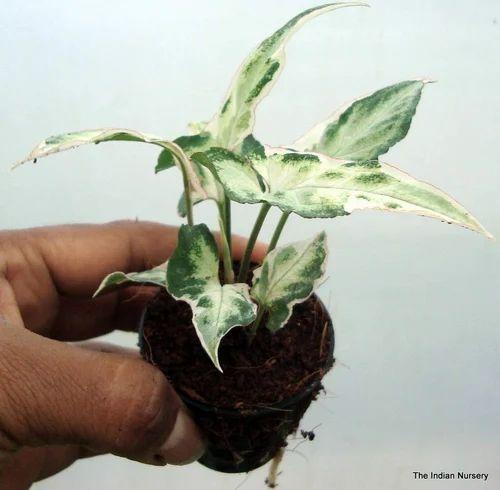 Syngonium Houseplant Syngonium Starlite Exporter From Howrah
