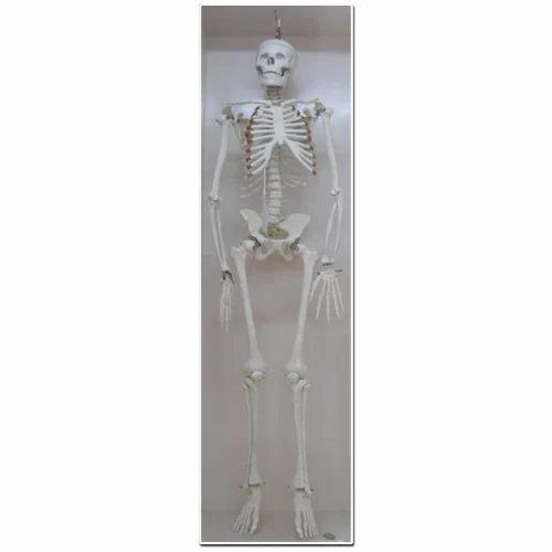Human Skeleton, मानव कंकाल, Anatomy Models | Tilak