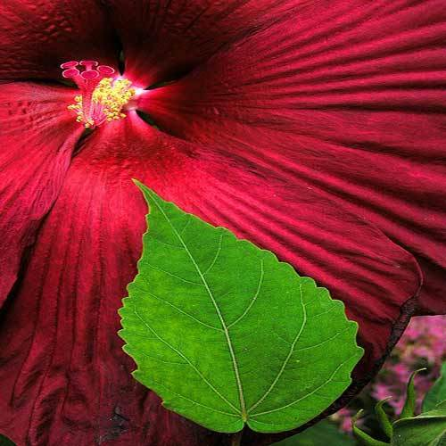 Hibiscus Leaf And Flower View Specifications Details Of Herb