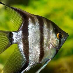 Angel Fish At Rs 20 Piece Angelfish Id 4355706212