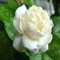 Jasmine Flower Wholesaler Wholesale Dealers in India