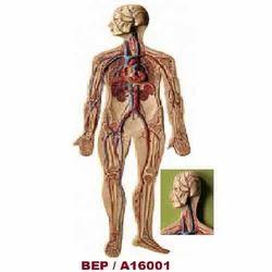 Circulatory System ( BEP/A16001 )