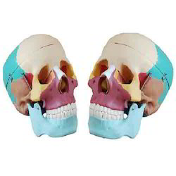 Life-Size Colored Skull Model ( BEP-104C )